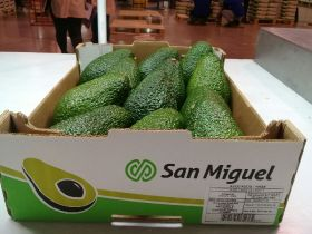 San Miguel exports first ever Hass avocados