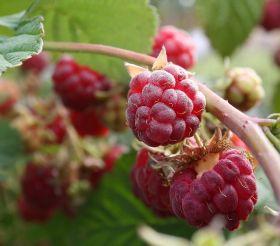 Raspberries could decrease risk of heart disease