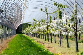 Berry Gardens upbeat on cherries