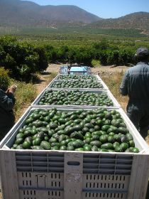 Chilean avo growers hit back at drought claims