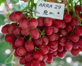 Grapa pushes early Arra varieties