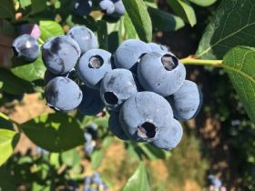 GPS unveils brace of new blueberry varieties