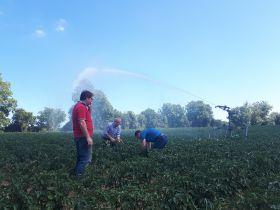 Irish grower's potato yield could halve