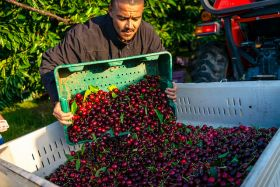 Delayed NW cherry season presents challenges
