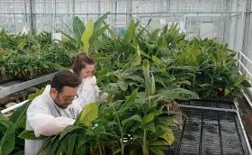 Scientists identify TR4-resistant bananas
