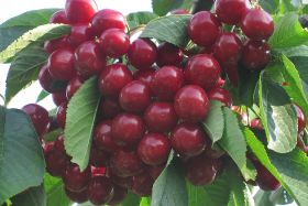 Airfreight provides fresh Australian cherries