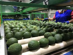 More Colombian avos heading for China