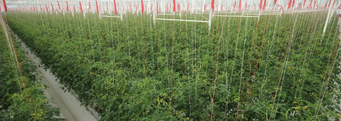 BayWa Al Dahra harvests first UAE tomatoes