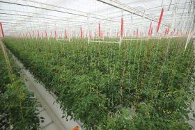 Al Dahra BayWa tomatoes return