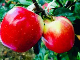 Taiwan seizes apples, kiwifruit and blueberries