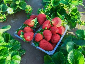 GPG secures major strawberry deal with UC Davis