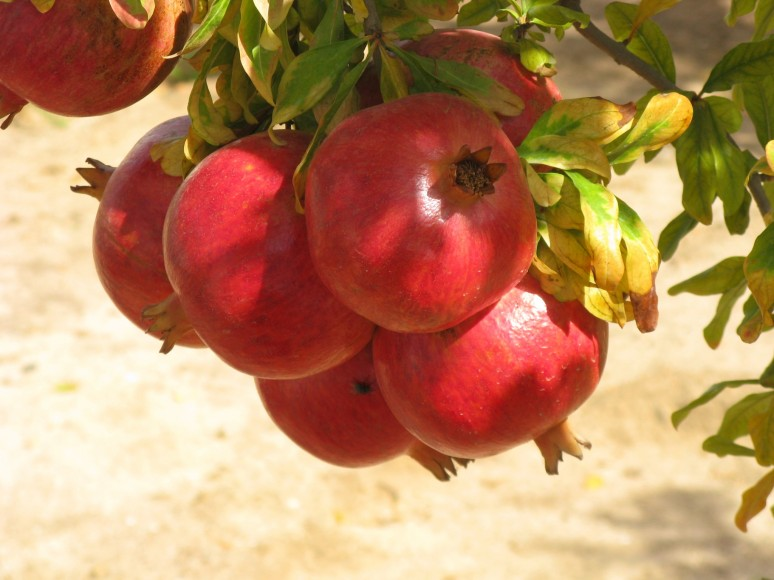 Indian pomegranate prospects dry
