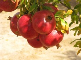 RSA pomegranates bounce back