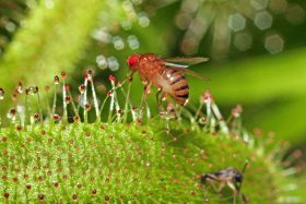 How fruit flies found their way into our fruit bowls
