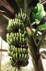 Bananas in greenhouse wageningen