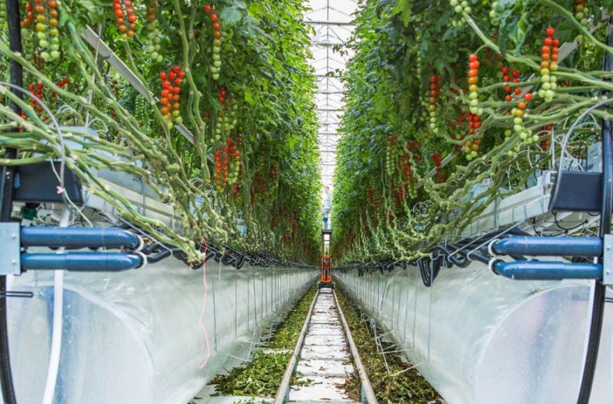 Greenhouses boost food security in UAE