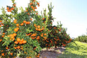Export growth for Australian citrus