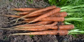 Carrot growers wait for neonic authorisation