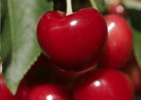 Argentina sends first cherries to China