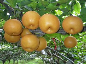 Korea to export pear to Australia