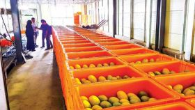 Sending mangoes north