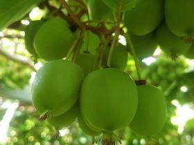 Keen on kiwiberries