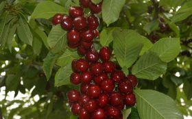 New Zealand cherries hit by poor weather