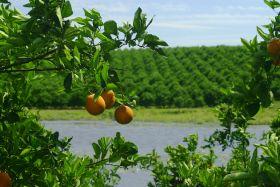 Relative stability for Florida citrus