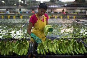 Banana sector embracing sustainability