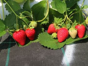 CIV unveils new strawberry varieties