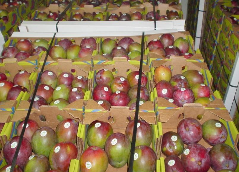 Guatemalan mango shipments rise