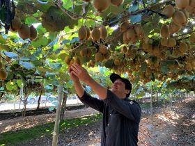 Sweeki harvest underway in Chile