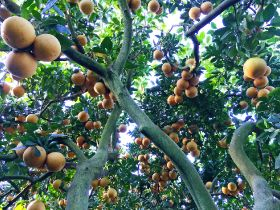 Mixed forecast for Florida citrus