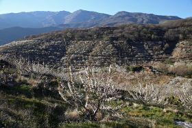Jerte Valley blossom heralds new Picota season