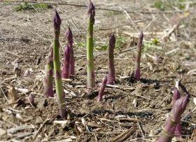 Michigan asparagus hits new record