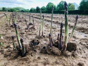 New green asparagus yields results