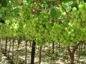 Late season will determine grape success
