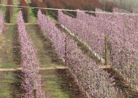 South African stonefruit can rebound