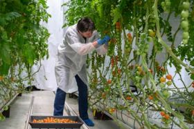 Tomato trials suggest bright future for LEDs