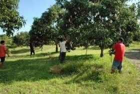 Philippine region targets mango exports