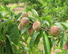 French stonefruit growers count cost
