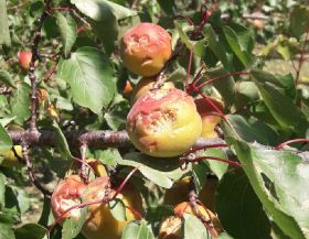 """French apricot losses """"significant"""""""