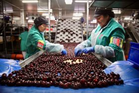 Sales hot up for Picota cherries