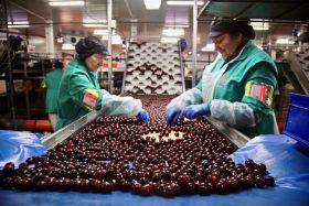 Picota cherries enjoy bumper season