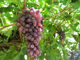 Australian grapes see Chinese high