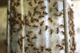 Sterile insects to combat Qfly in WA