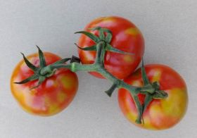 UK tomato industry hit by first case of ToBRFV