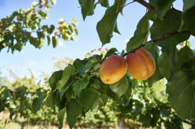 "British apricots ""extra sweet"" after heatwave"