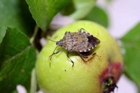 Stink bug threatens Italian fruit