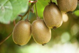 Study evolves thinking on kiwifruit genetics